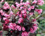 Вейгела цветущая Фолис Пурпуреус