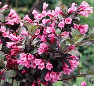 Вейгела цветущая Фолис Пурпуреус изображение 1