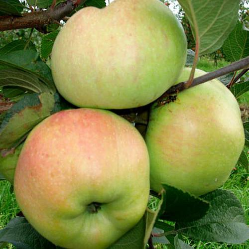 Яблоня Богатырь 1