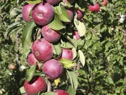 Яблоня колоновидная Гейзер изображение 3
