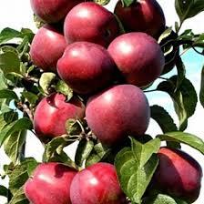 Яблоня колоновидная Гейзер изображение 2
