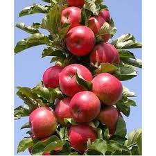 Колоновидная яблоня Баргузин изображение 2