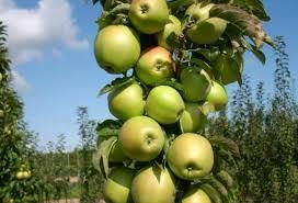 Колоновидная яблоня Медок 2
