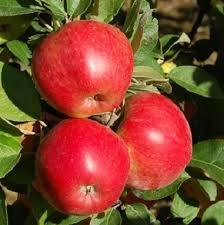Яблоня Анис изображение 1
