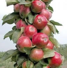 Яблоня колоновидная Триумф 1