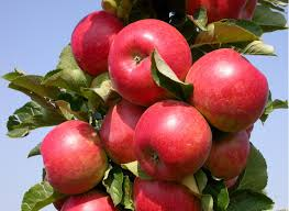Колоновидная яблоня Останкино изображение 3