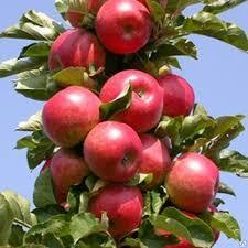 Колоновидная яблоня Останкино изображение 2