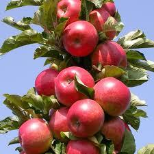 Колоновидная яблоня Талисман 2