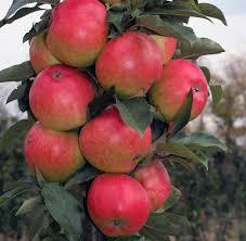 Колоновидная яблоня Талисман 3