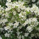 Чубушник (жасмин садовый) Юстинка 3