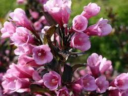 Вейгела цветущая Фолис Пурпуреус изображение 2