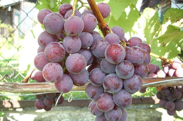 Виноград Русский Конкорд 1