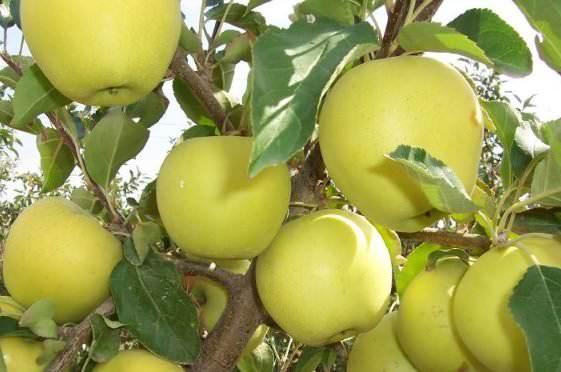 Яблоня Голден изображение 2