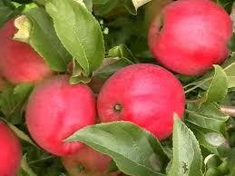 Яблоня Анис 2