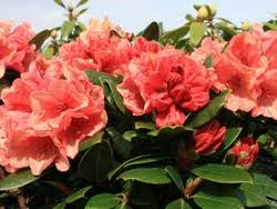 Рододендрон Бернштейн (Rhododendron Bernstein) гибридный изображение 2