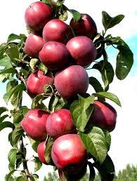 Колоновидная яблоня Баргузин изображение 3