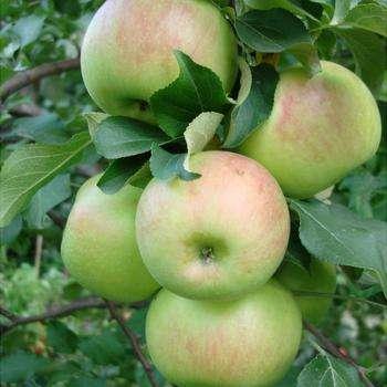 Яблоня Богатырь 3