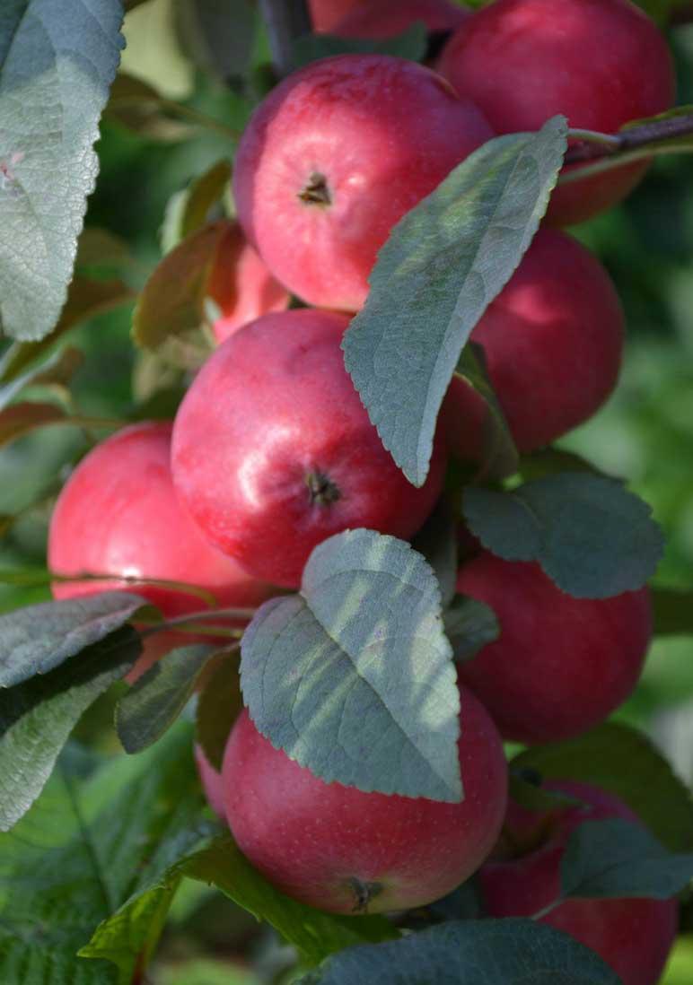 Колоновидная яблоня Червонец изображение 3