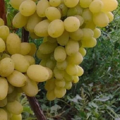 Виноград плодовый Лилла 2