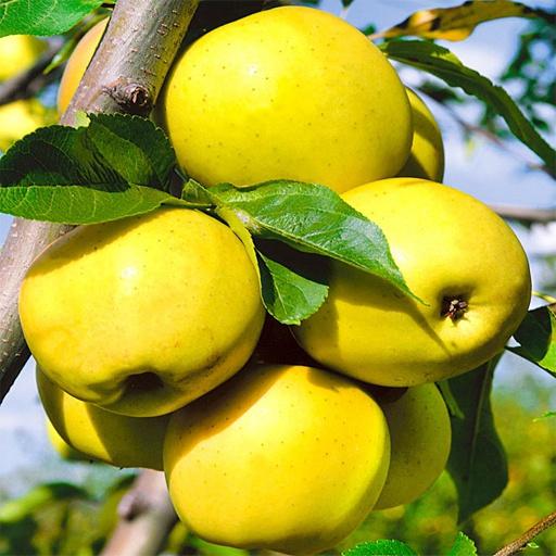Яблоня домашняя Антоновка Золотая 3
