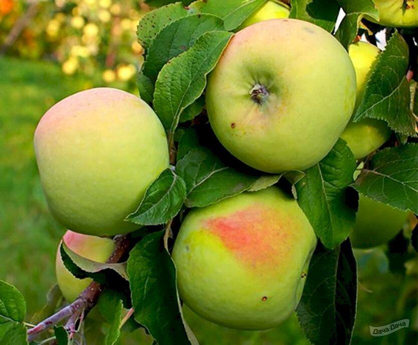 Яблоня Мартовское 2