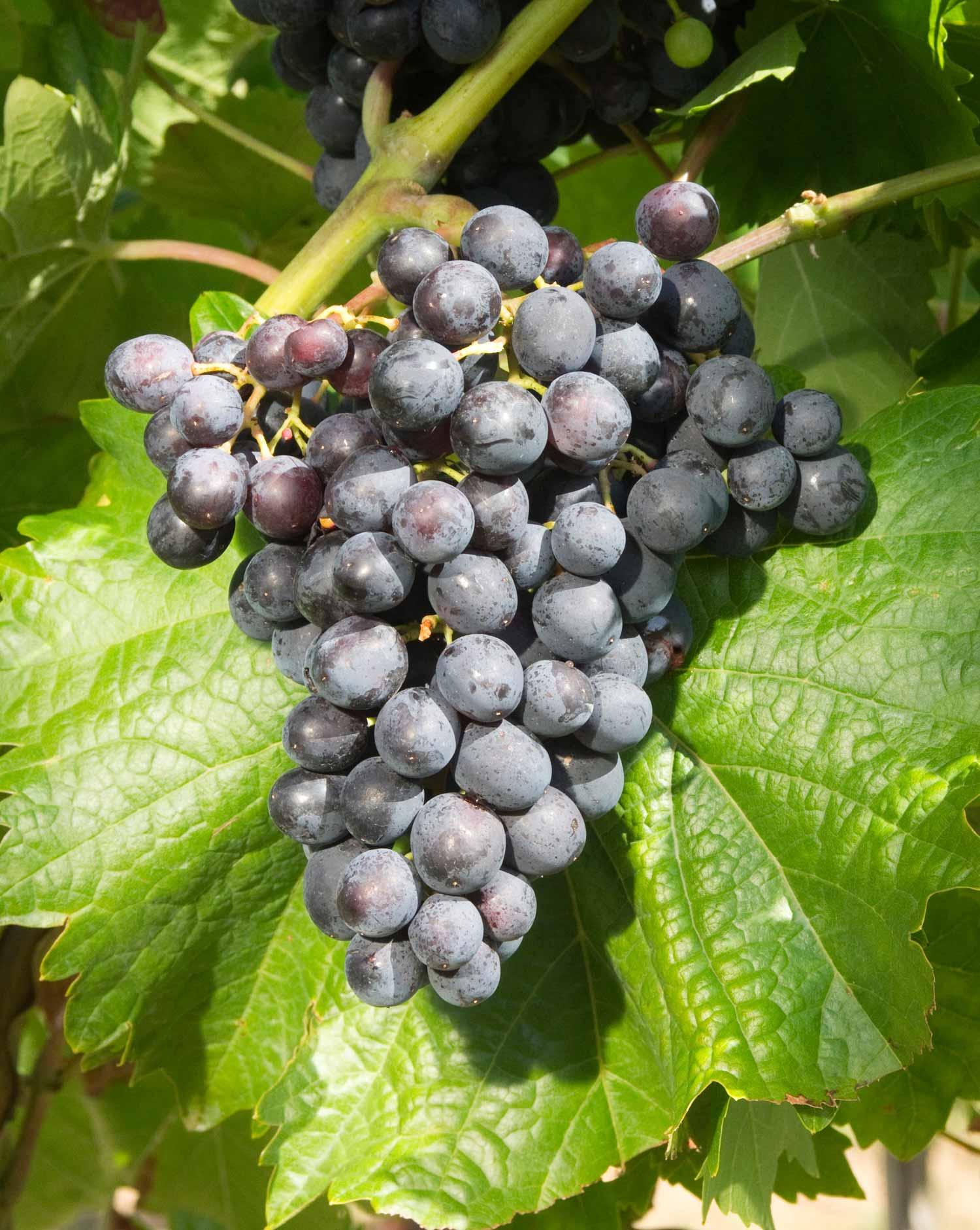 Виноград Мускат Блау изображение 1