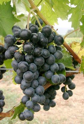 Виноград Мускат Блау изображение 2