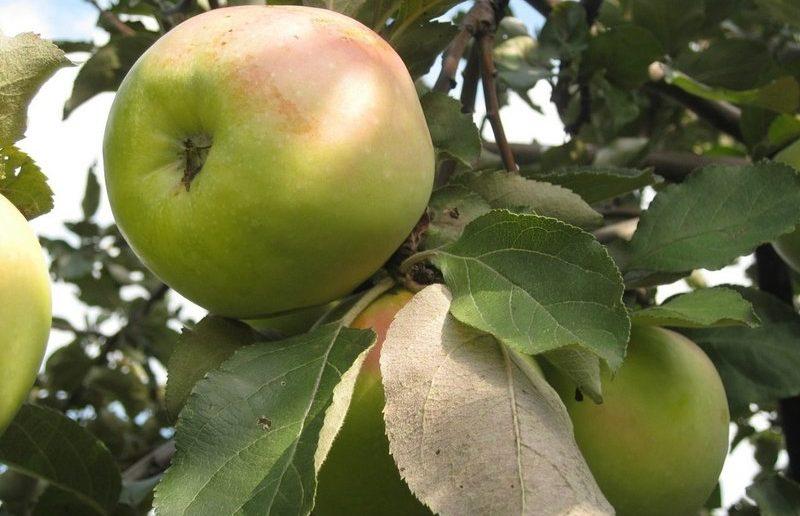 Яблоня Богатырь 2