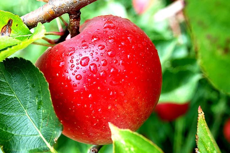 Яблоня домашняя Гала 1