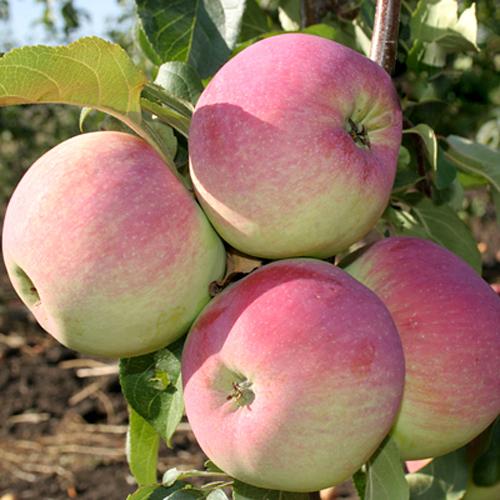 Яблоня Свежесть 1