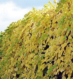 Виноград ароматный Томек изображение 2