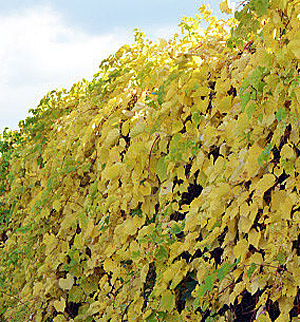 Виноград ароматный Томек 2