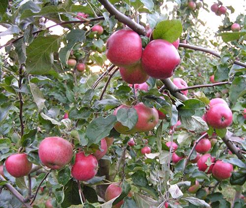 Яблоня Веньяминовское 2