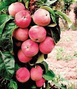 Колоновидная яблоня Стрела изображение 2