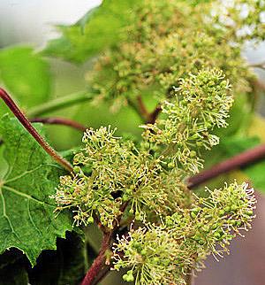 Виноград ароматный Томек изображение 1