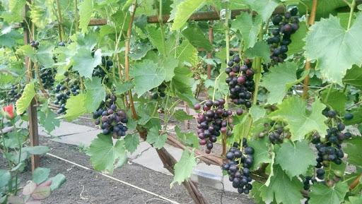 Виноград Мускат Блау изображение 3