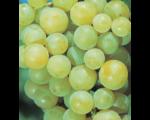 Виноград Иза Заливска