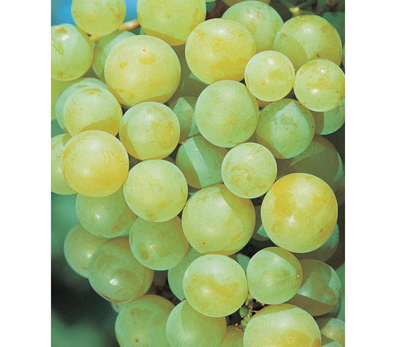 Виноград Иза Заливска изображение 1