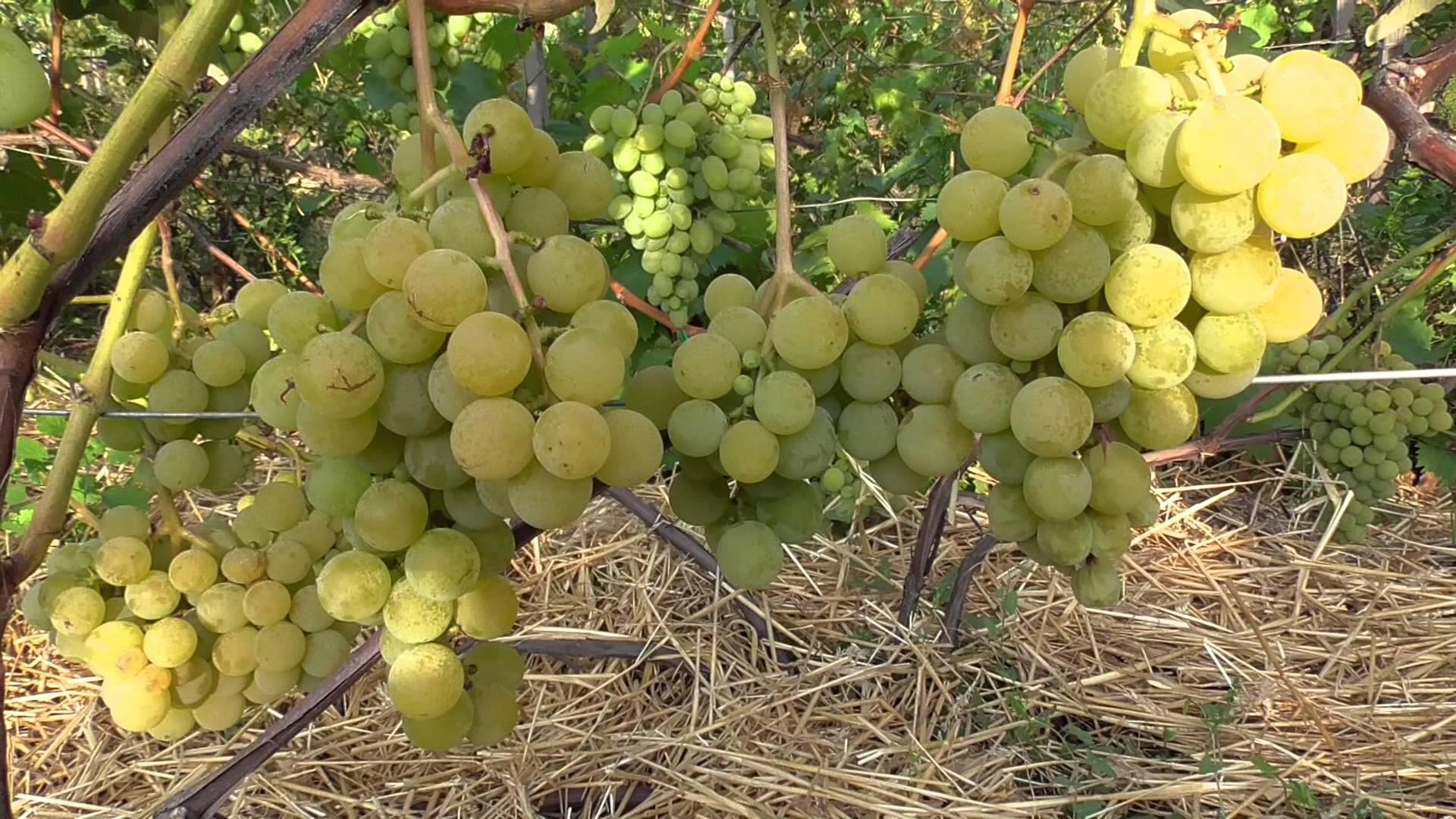 Виноград плодовый Онтарио изображение 2