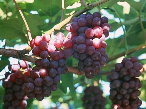 Виноград Русский Конкорд 2