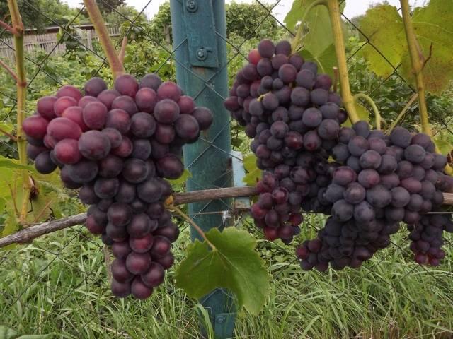 Виноград плодовый Сенатор 3