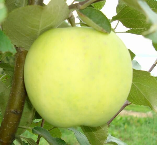 Яблоня Папировка 3