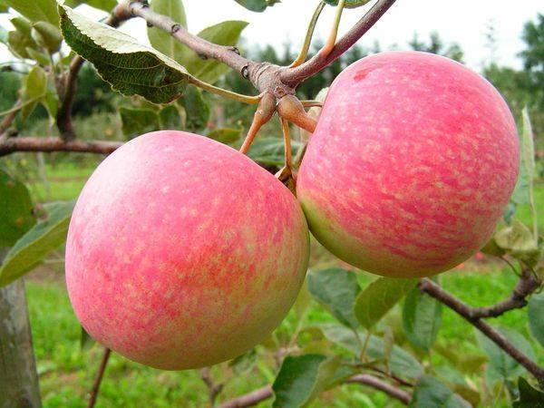 Яблоня Свежесть 2