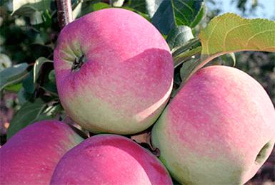 Яблоня Свежесть 3