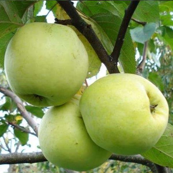 Яблоня Антоновка изображение 2