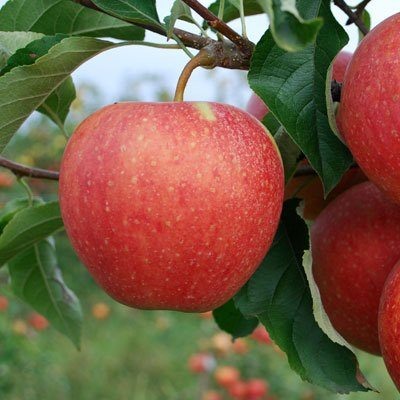 Саженцы яблони Пинова 3
