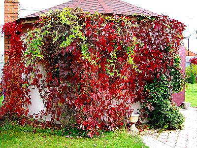 Виноград девичий пятилисточковый Троки изображение 2