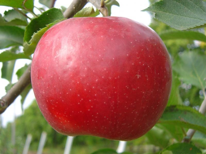Саженцы яблони Деличия изображение 1