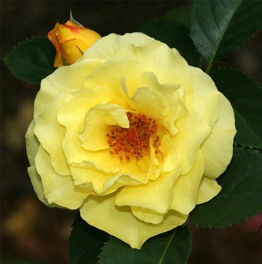 Роза Лихткёниген Лючия 1