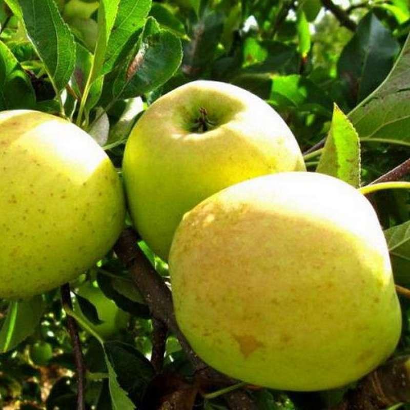 Саженцы яблони Орион изображение 2